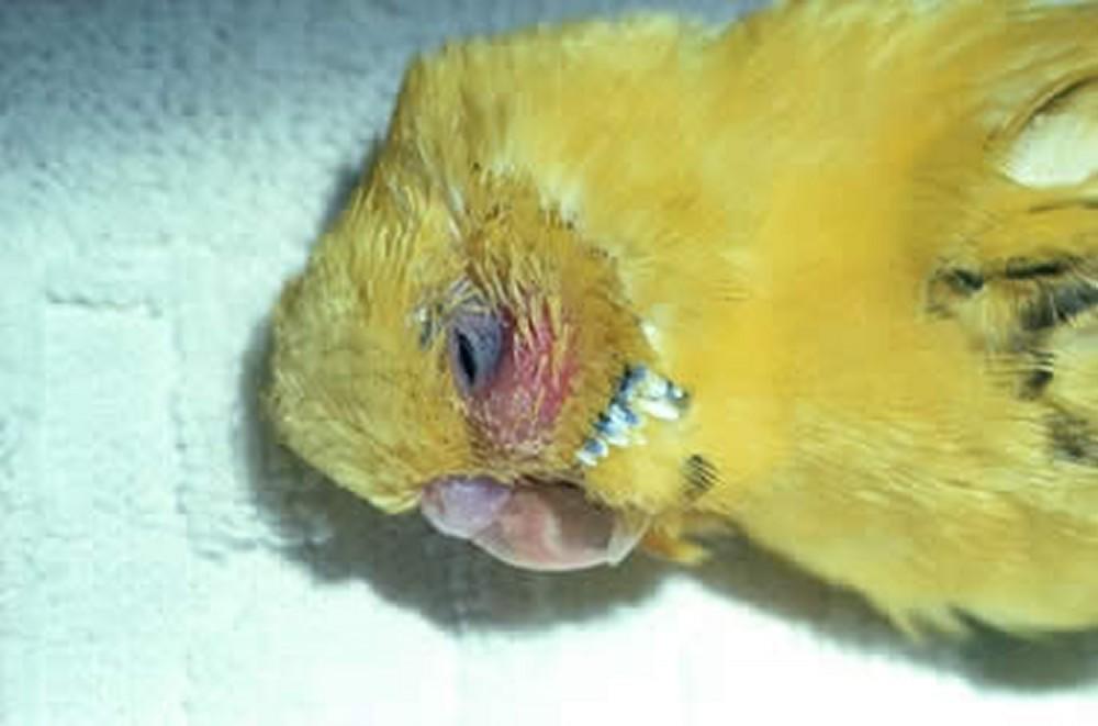 ورم صورت طوطی،مرغ عشق، طوطی برزیلی - بیماری با عامل باکتری