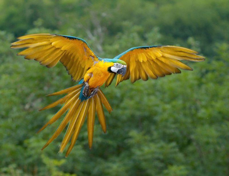 این پرندههای بسیار زیبا هم که میتوانند به طور متوسط تا ۵۰ سال عمر کنند، به ماکائوهای آبی طلائی یا مکائو آبی و زرد معروف هستند. طول آنها (از نوک سر تا ته دم) به ۸۴ سانتیمتر و وزن آنها به یک کیلوگرم میرسد. درست مثل سایر ماکائوها، ماکائوی آبی طلائی نیز میتواند حرف زدن یاد بگیرد.