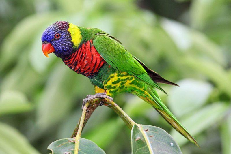 این نوع پرنده یک طوطی با جثهی متوسط است و طول ۲۵-۳۰ سانتیمتر است. شهدخورک رنگین کمانی به شدت رنگارنگ هستند و در مجموع پرهایی بسیار روشن دارند. آنها طول عمر نسبتا کوتاهی برابر با ۲۰ سال دارند.