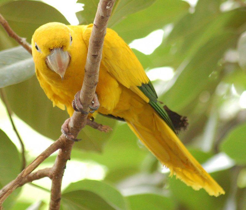 این طوطی زیبا که با عنوان کانور طلائی نیز شناخته میشود (همان طور که در تصویر میبینید) پرهایی زرد دارد و نوک بالهایش به رنگ سبز است. این پرنده در قسمتهای مرتفع و خشکتر جنگلهای بارانی آمازون برزیل زندگی میکند و گونهای در خطر انقراض است.