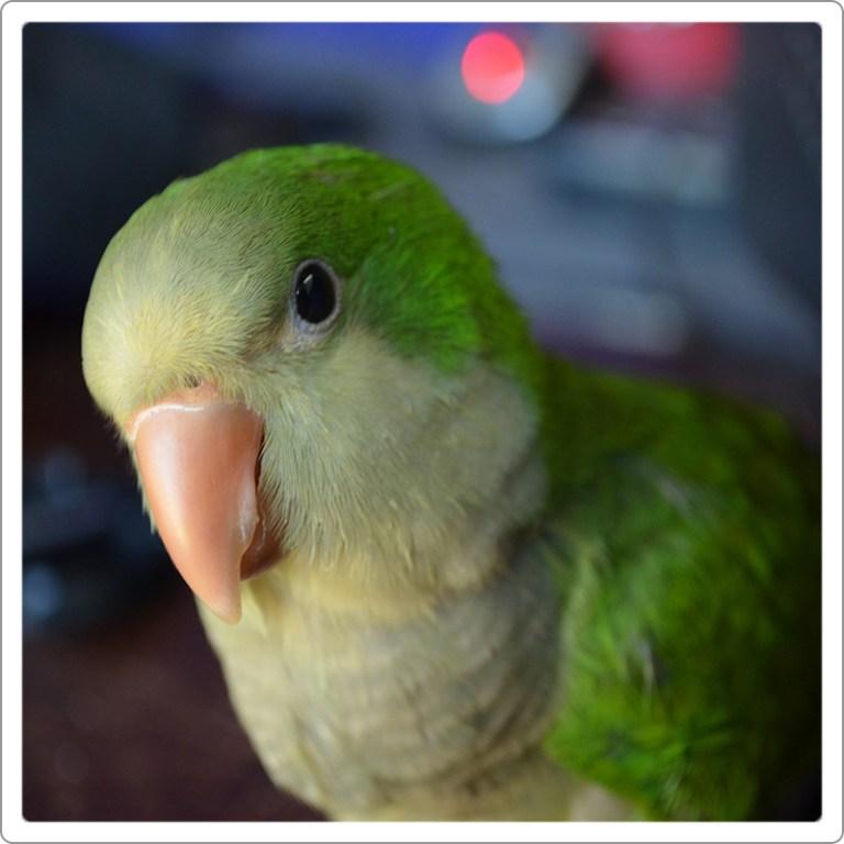 این نوع طوطی با این که در ایران چندان دیده نمیشود ولی جزو دستهی طوطیهای کوچک جثهی معروف جهان به شمار میرود. به لحاظ رفتاری به مرغ عشق یا همان طوطی برزیلی شباهتهایی دارد.